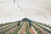 Imagen de recolección de fresas de la empresa Flor de Doñana